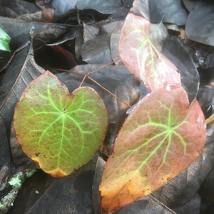 Puriri Lane | Epimedium x versicolour | Sulphureum