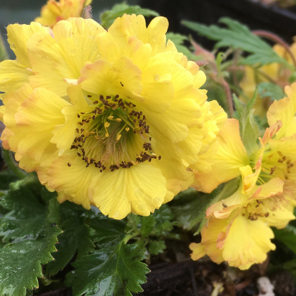 Puriri Lane Geum | Can-Can