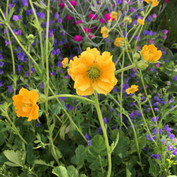 Puriri Lane | Geum chiloense | Lady Stratheden