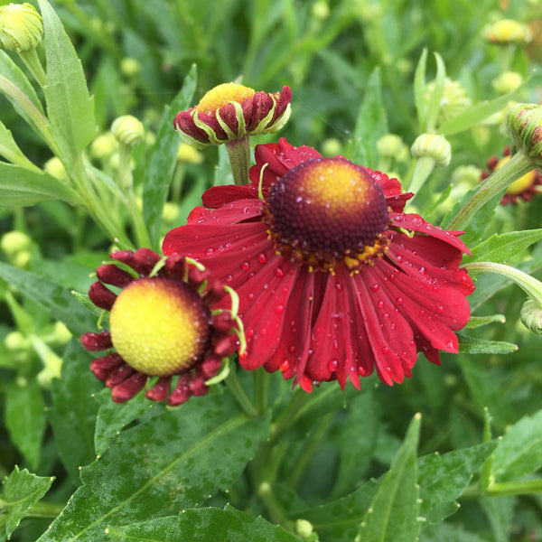 Puriri Lane | Helenium | Lord of Flanders