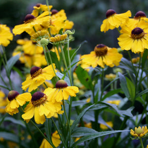Puriri Lane | Helenium | Butterpat