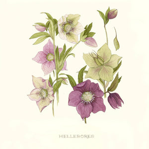 Puriri Lane | Hellebores | Limited Edition