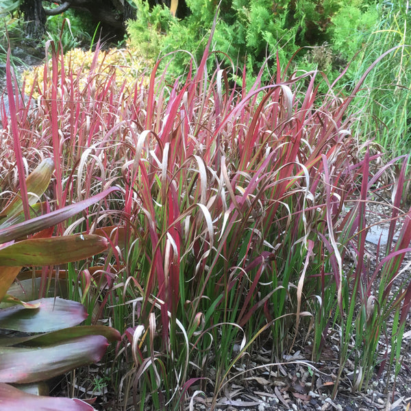Puriri Lane | Imperata cylindrica | Rubra | Blood Grass