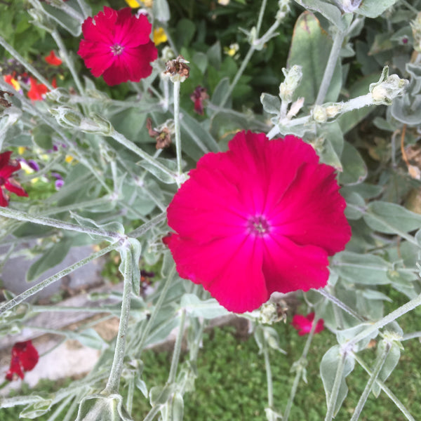 Puriri Lane | Lychnis coronaria  | Rose Campion