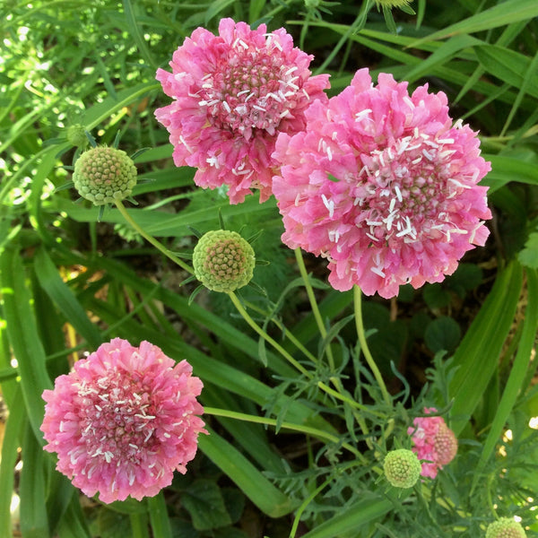 Puriri Lane | Scabiosa atropurpurea | Salmon Queen