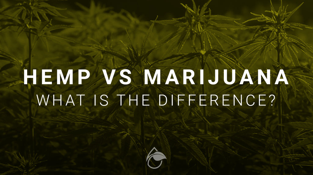 Hemp Vs Marijuana - What's The Difference And What You Need To Know