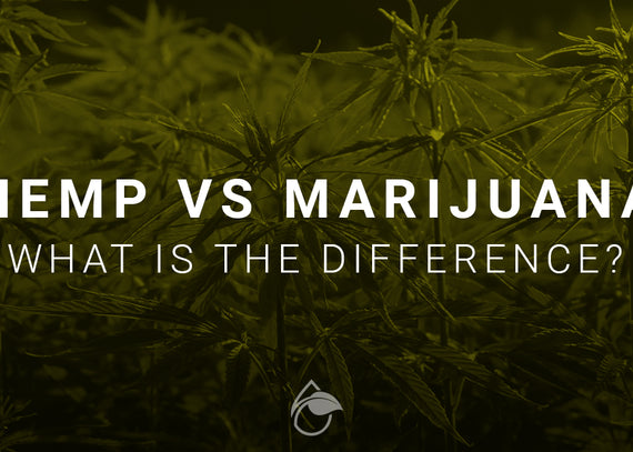Hemp Vs Marijuana Whats The Difference And What You Need To Know