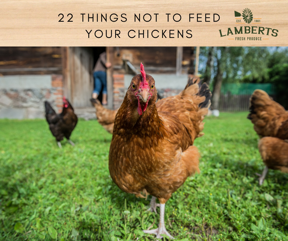 22 Things You Can't Feed Your Chickens