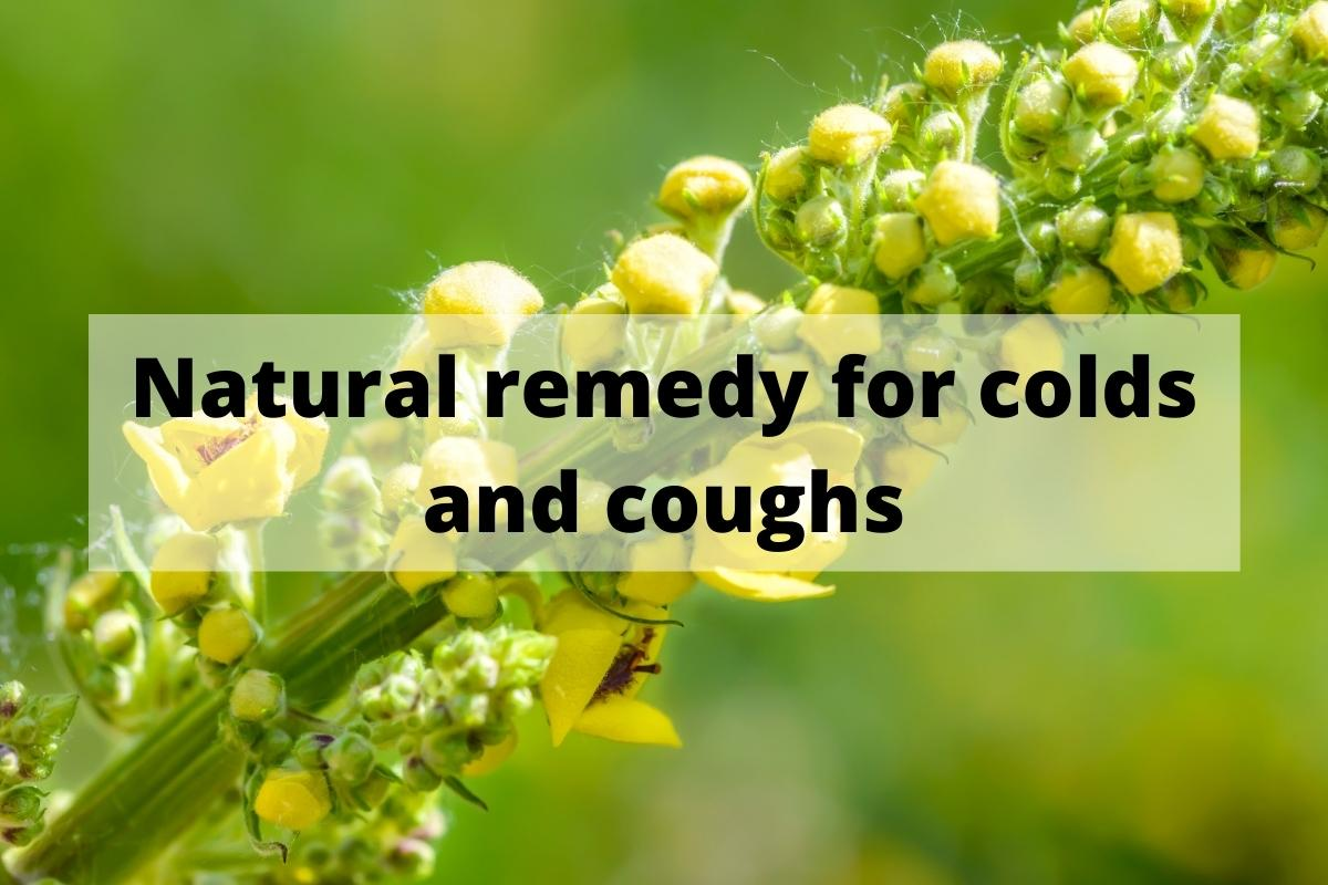 Mullein Benefits: Natural remedy for colds and coughs