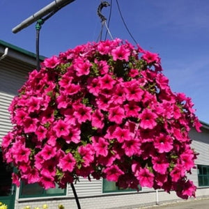 Trailing Surfinia (Hot Pink)