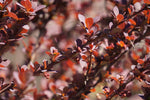 Berberis Thunbergiii (Small Shrub)