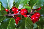 Ilex (Large Shrub)