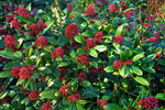 Skimmia (Small Shrub)