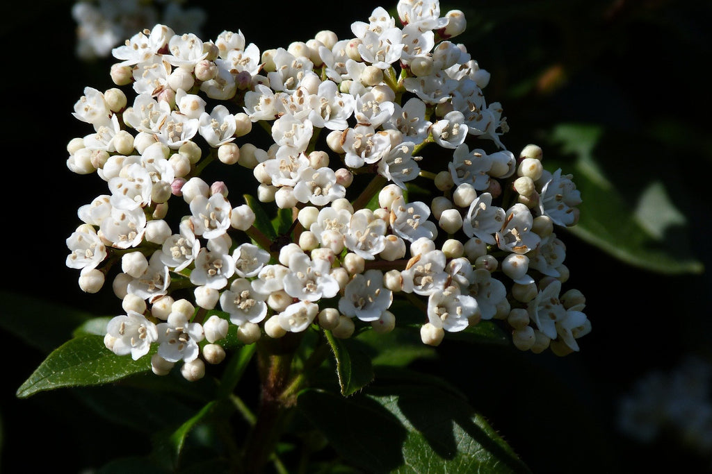 Viburnum (Large Shrub)