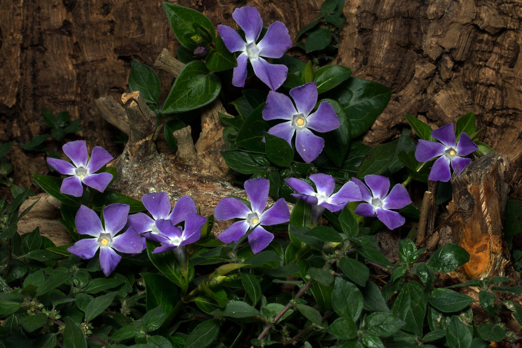 Vinca Major (Small Shrub)