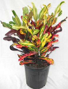 Tropical Croton
