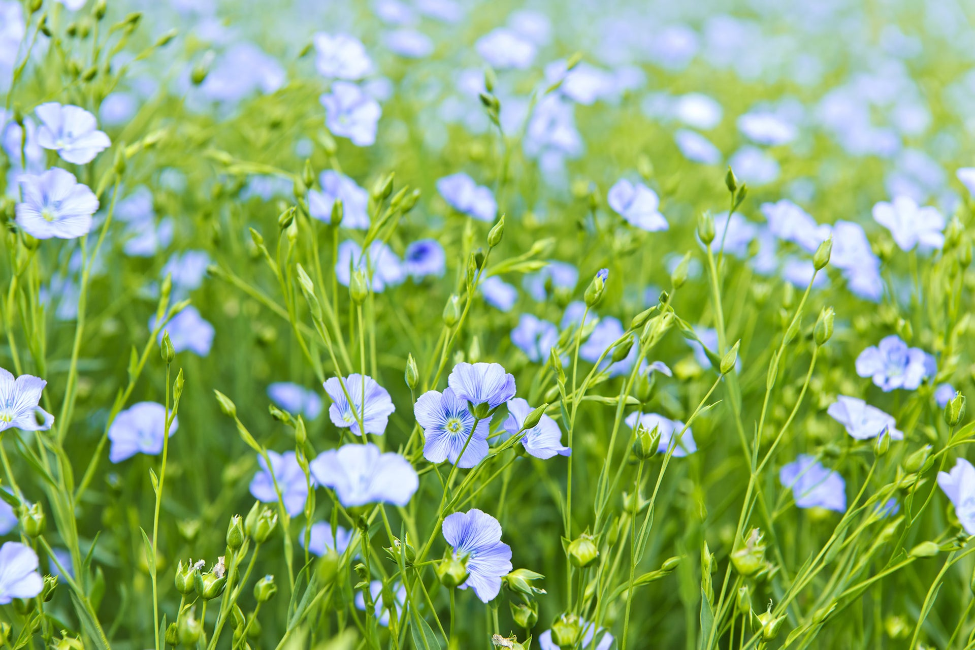 Discover the benefits of linen made from European flax