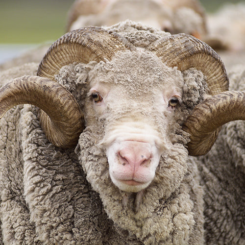 Amazing benefits of merino wool