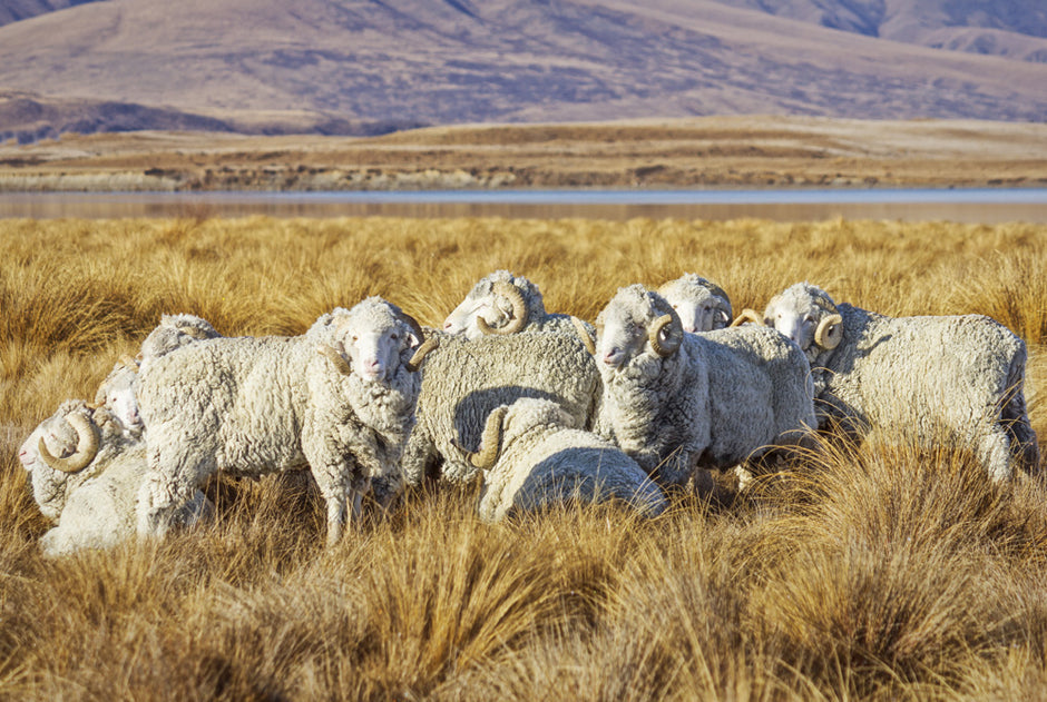 Merino wool comes from merino sheep