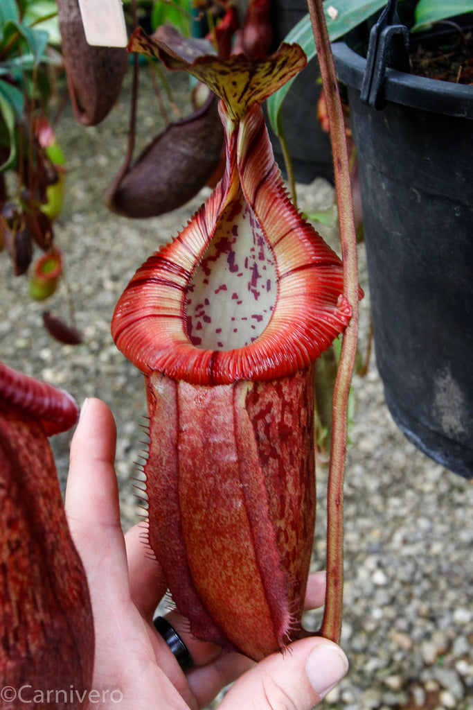 Nepenthes burbidgeae x edwardsiana ?