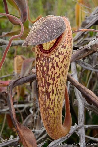 Nepenthes klosii in situ, photo taken by Chien Lee and used with permission