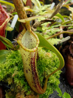 Nepenthes platychila
