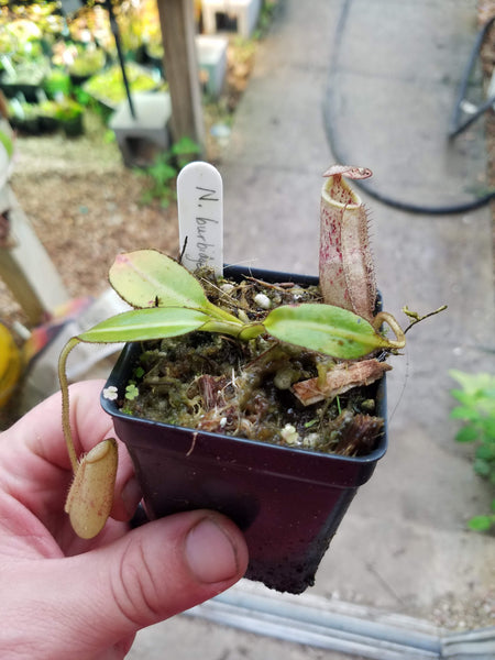 Nepenthes burbidgeae, BE-3873