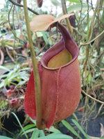 Nepenthes bicalcarata Red Flush, BE-3031
