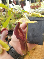Nepenthes singalana variegated