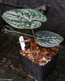 Anthurium luxurians