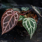 "Anthurium ""Red Crystallinum"""