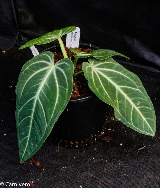 Anthurium villenaorum