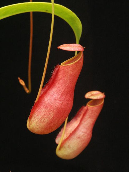 Nepenthes madagascariensis, BE-3247