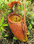 Nepenthes palawanensis, BE-3651