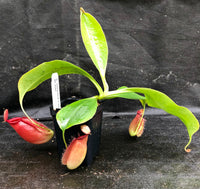 Nepenthes robcantleyi x ampullaria, BE-3767