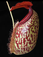 Nepenthes merrilliana x aristolochioides, BE-3877