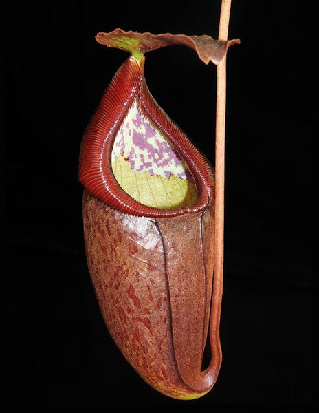 Nepenthes glandulifera x tenuis, BE-3891