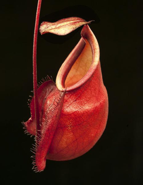 Nepenthes mirabilis var. globosa, BE-3928
