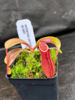 Nepenthes (veitchii x lowii) x dactylifera, BE-3937