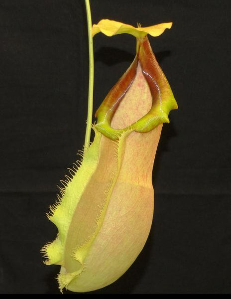 Nepenthes spathulata x merrilliana, BE-3949