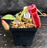 "Nepenthes Song of Melancholy x (spathulata x jacquelineae) ""BE's Best"", CAR-0045"