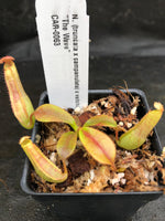 "Nepenthes (truncata x campanulata) x veitchii ""The Wave"", CAR-0063"
