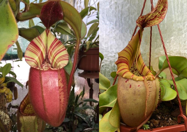 Nepenthes veitchii (Candy x Candy Yamada)