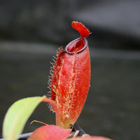 Nepenthes ampullaria x aristolochioides, BE-3758