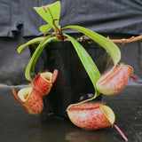 Nepenthes ampullaria 'Lime Twist', BE-3390