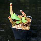 "Nepenthes veitchii ""Big Mama"" x platychila ""white"", CAR-0031"