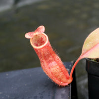 Nepenthes smilesii x (maxima x glandulifera), CAR-0077