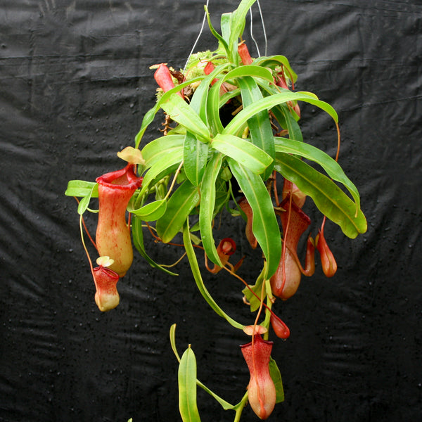 Nepenthes ventricosa Red (BE x AG3), CAR-0140