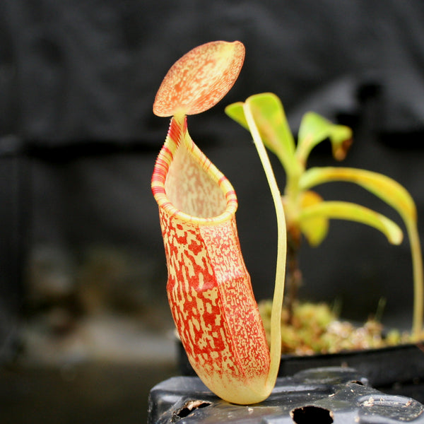 Nepenthes (spathulata x spectabilis) BE Best x (spectabilis x talangensis), CAR-0146