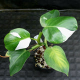 Philodendron 'White Wizard'
